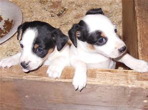 Chiots JACK RUSSEL non LOF