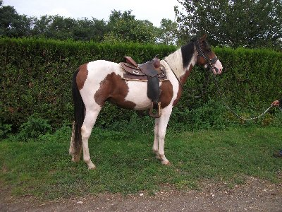Cheval Pie rouge de 3 ans